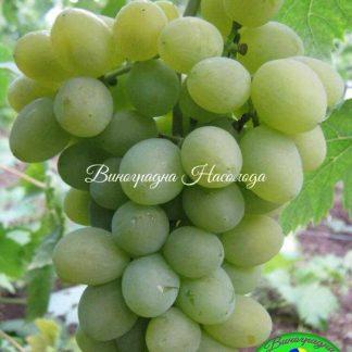 Сорт винограда Елегант сверхранний