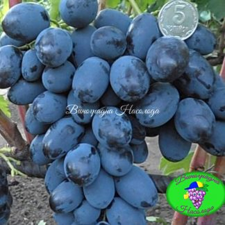 Каталония — сорт винограда