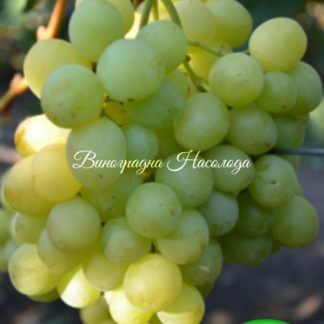 Спонсор сорт винограда