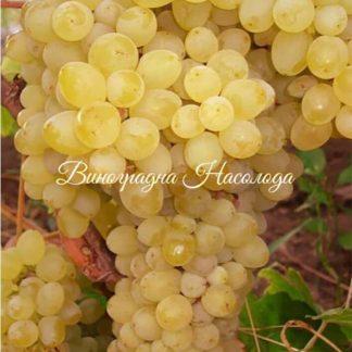 Кишмиш цитронный сорт винограда