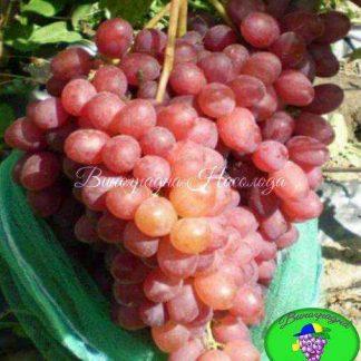 887 Супер - виноград