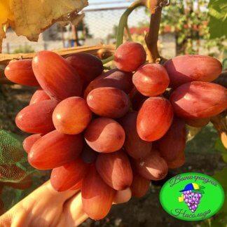 Сорт винограда Богема