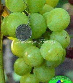 Индиана - виноград