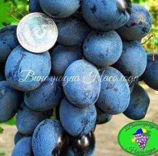 Краса Балок - виноград