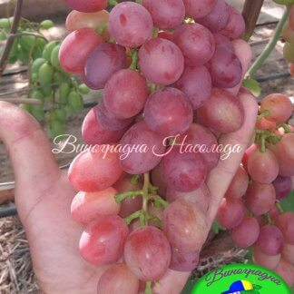 Маша - виноград