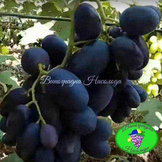 Матадор - виноград