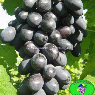 Муромец - виноград