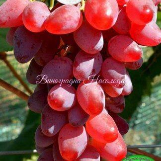 Огненный - виноград