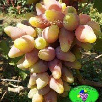Оскар - виноград