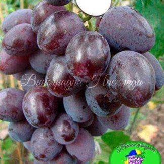 Пегас - сорт винограда