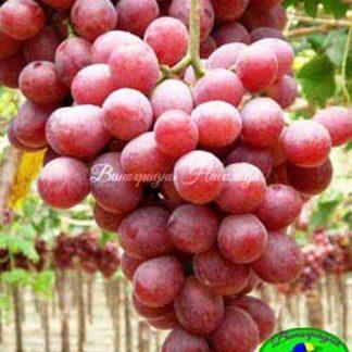 Ред Глоуб (Red Globe) – виноград