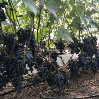 Ромбик - виноград