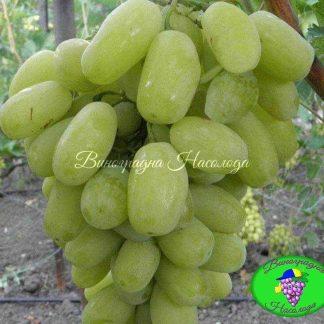 Сицилия - виноград