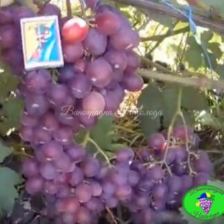 Синдикар - виноград
