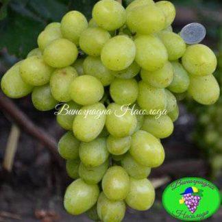 Синдикат - виноград