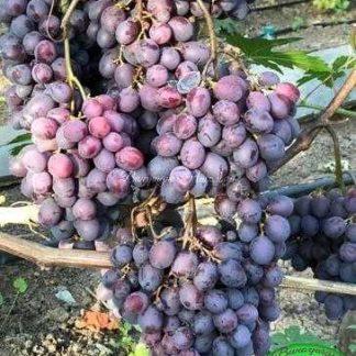 Тюльпан - виноград