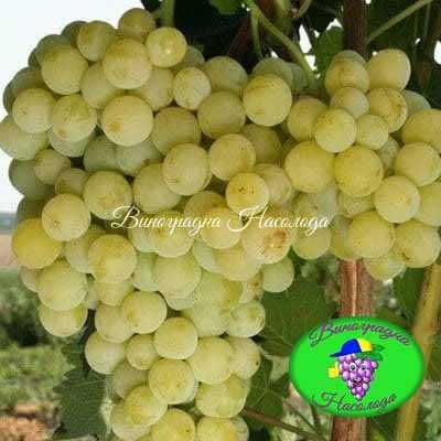 Бианка - виноград