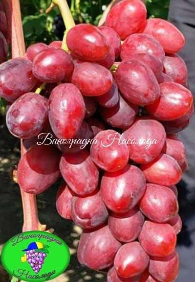 Велюр – виноград